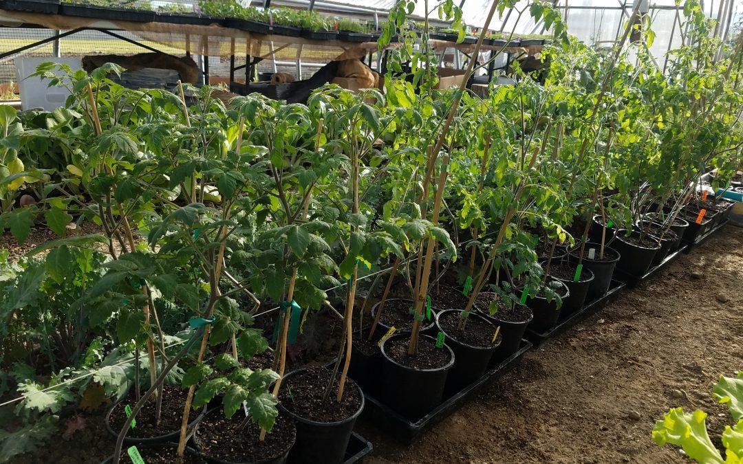 Yamamoto Farms: Planting Tomatoes